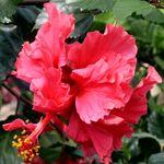 Exotic Hibiscus 'Pride of Hankins'