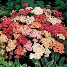 Outsidepride Yarrow Summer Berries - 1000 Seeds by Outsidepride: Flower Seed. $4.99. USDA Zones: 3 - 10. Season: Perennial. Bloom Color: Mix. Sowing Rate: 6 - 7 seeds per plant. Height: 18 - 24 inches. Achillea millefolium, or Yarrow, is a hardy perennial that is a favorite of many gardeners. This variety, Summer Berries Mix, has flower clusters in a mix of colors: salmon, yellow, white, pink, cherry red and cream. It grows easily from seed and has a long bloom season, summe...