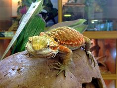 One of our red bearded dragons exploring the shop