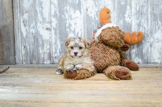 TEACUP MORKIE PUPPY - 8 week old Morkie