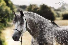 scarlettjane22:  Spanish StallionElisabeth Panepinto, Belgium  http://www.heartofahorse.org/