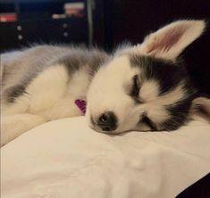 Cute Husky Puppies, Husky Puppy, Huskies Puppies, Pomeranian Puppy, Lab Puppies, Baby Dogs, Pet Dogs, Dog Cat, Doggies