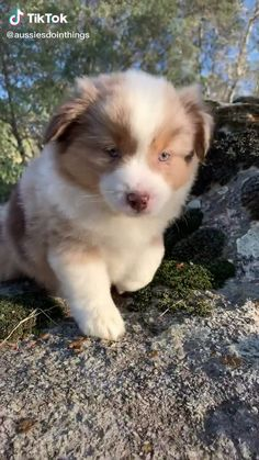 Ridiculously adorable dog 🐶 check - Viral stuff to awaken your spirit Australian Shepherd Puppies, Aussie Puppies, Cute Dogs And Puppies, Pet Dogs, Red Merle Australian Shepherd, Mini Australian Shepherds, Doggies, Pets, Baby Animals Pictures