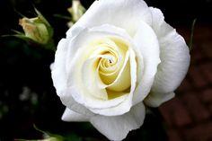 Flower. White rose