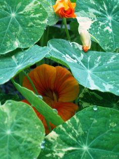 Alaska Mix Nasturtium self-sown from plants grown last summer from Renee's Garden seeds. http:www.joenesgarden.com