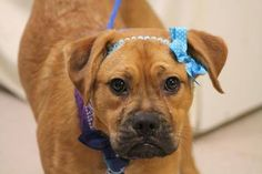 NAME: Rosemary ANIMAL ID: 25107516 BREED: boxer mix SEX: female EST. AGE: 6 mos Est Weight: 41 lbs Health: heartworm neg Temperament: dog friendly, people friendly ADDITIONAL INFO: RESCUE PULL FEE: $49 Intake date: 3/6 Available: 3/12