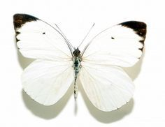 witte vlinder - Google zoeken Butterfly, Animals, Tattoos, Frame, Nature, White Butterfly, Butterflies, Insects, Picture Frame