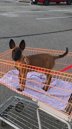 Belgium Malinois, Belgian Malinois Dog, Malinois Puppies, Cane Corso Puppies, Belgian Shepherd, Service Dogs, Beautiful Dogs, Mans Best Friend, Dog Life