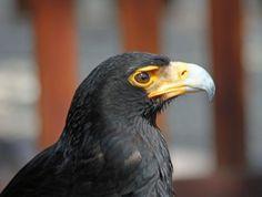The Verreaux's Eagle