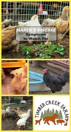 Mareks disease symptoms are caused by a particularly strong herpes virus. Mareks disease can be found in the environment. The usual symptoms involve the Urban Chickens, Pet Chickens, Chickens Backyard, Backyard Poultry, Keeping Chickens, Raising Chickens, Chicken Feed, Chicken Coops, Disease Symptoms