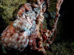 Robert Mankoff took this picture of an octopus while on a night dive.  And who said there isn't any night life on Nevis.