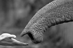 Michael GEBEL HOLGER :: Hand meets trunk | Help us gain media sponsorships by liking IvoryForElephants on FB. Keep up with the news, read The Elephant Daily #ivoryforelephants #stoppoaching #elephants for #ivory ! #animals #killthetrade