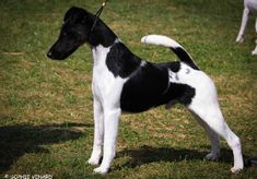 Perro Fox Terrier, Smooth Fox Terriers, Cherry, France, Dogs, Animals, Puppies, Dog Breeds, Animales