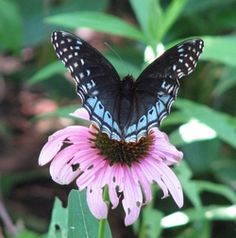 list of native AR plants for birds and butterflies
