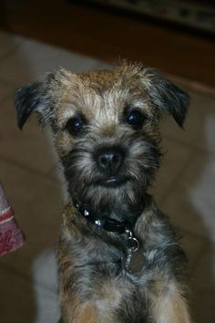 Can I get up on your lap can I huh please! Borders want to be near their people Always! Lucy | Border Terrier