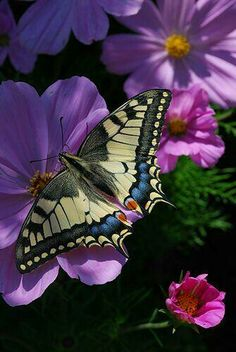 Swallowtail butterfly on cosmos flowers. Beautiful Bugs, Beautiful Butterflies, Beautiful Flowers, Beautiful Creatures, Animals Beautiful, Cute Animals, Butterfly Kisses, Butterfly Flowers, Purple Flowers
