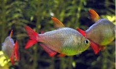 Resultado de imagen para peces ciclidos