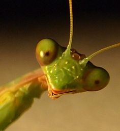 Though female mantids have been observed eating their male counterparts during mating, this most commonly occurs in a laboratory setting. In the wild the female mantis eats her mate only 30% of the time.
