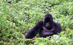 Gorillas Up Close And Personal   #adventueist #adventure #travel