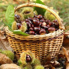 basket of chestnuts