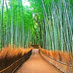 Arashimaya Bamboo Forrest - Japan