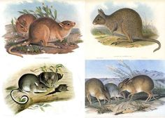 Mourn our lost mammals, while helping the survivors battle back. one from this earth: Four of the 30 Australian mammal species that have gone extinct since European settlement. The desert rat-kangaroo (top left), the eastern hare-wallaby (top right), the white-footed rabbit-rat (bottom left), and the pig-footed bandicoot (bottom right).