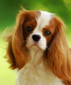 I want one SOOO bad! My Fonzie needs a girlfriend! ~mc     Adorable cute cavalier king charles spaniel... to see more click on pic