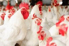 HOW TO START UP A BROILER BIRDS BUSINESS IN NIGERIA (DETAILED GUIDE) Broiler Chicken, Day Old Chicks, Bird Flu, Free Chickens, American Idol, Livestock, Mcdonalds, The Expanse, Food Safety