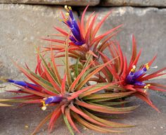 Hey, I found this really awesome Etsy listing at https://www.etsy.com/listing/96435202/air-plant-iona-3-for-1-deal