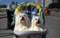 MASCOTAS DE CARNAVAL. Los perros también festejan. Acompañados de sus dueños, cientos de perritos con coloridos atavíos desfilaron por las calles de Río de Janeiro en la previa del carnaval carioca. (AP)Mirá la FOTOGALERÍA en HD