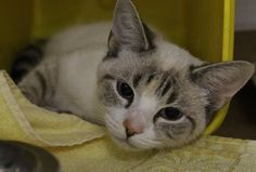 ADOPTED>Intake: 12/7 Available: 12/13 NAME: Snow ANIMAL ID: 34164895 BREED: Siamese mix  SEX: Female  EST. AGE: 1 yr  Est Weight: 5 lbs Health:  Temperament: Friendly ADDITIONAL INFO:  RESCUE PULL FEE: $35