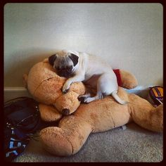 Pug has turned a giant stuffed Pooh into a bed.