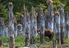 Un oso pardo se pasea entre unos pilares de madera en Taku Harbor, Alaska (Rocky Grimes, 2017)