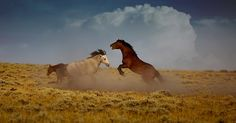 Brad Cheese  Sparring Wild Horses A pair of wild horses spar in the prairies of southern Wyoming.