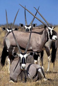 South Africa - Oryxes. 4 species. Horns are lethal, have been known to kill lions with them. Live up to 20yrs.