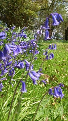 Bluebells in Rufford Old Hall. RaeBattesonArt