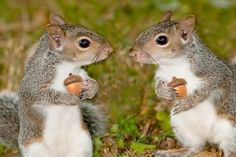 Let's have lunch. Eastern Gray Squirrels