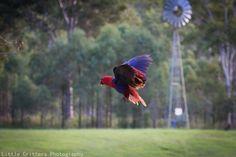 Ecletto femmina - Female Eclectus Parrot - Eclectus roratus