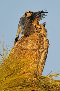 Owl Harassment from the Bird in Blue by Scott Grant  | Flickr