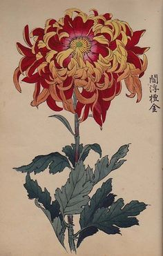 Orig Japanese Woodblock Print Book Chrysanthemum of Japan Meiji. Want as a tattoo. Japanese Painting, Chinese Painting, Chinese Art, Botanical Drawings, Botanical Prints, Japanese Chrysanthemum, Illustration Blume, Art Asiatique, Art Japonais