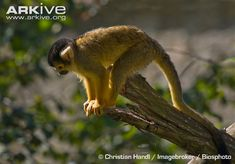 bolivian-squirrel-monkey-saimiri-boliviensis-on-a-branch.jpg 650×453 pixels