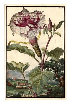 Datura Aegyptia flora triplici, from Nürnbergische Hesperides, 1708. Published by Johann Christoph Volkamer, printed by Johann Andreas Endter, Nuremberg, Germany. The complete lush book via University Library Sachsen-Anhalt