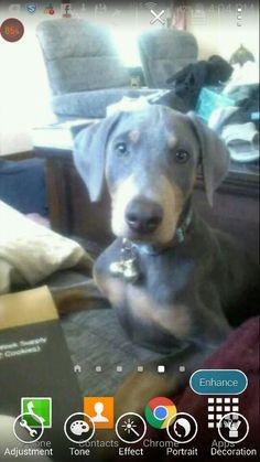 Gabriel a blue doberman puppy at 3 months old. Blue Doberman Puppy, Doberman Puppies, 3 Month Olds, Dobermans, Gabriel, 3 Months, Dogs, Inspirational, Animals
