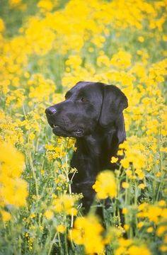 Labrador Retriever pictures...