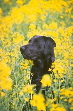Black Labrador Retriever Dog in Yellow Flowers