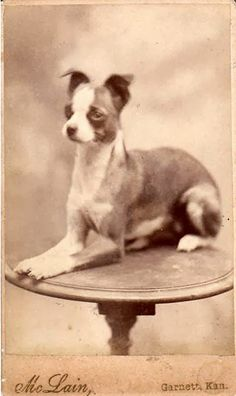 The Cute Chihuahua from Garnett Kansas - this is what chihuahuas use to look like.