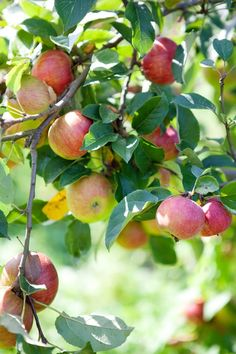 An orchard with lots of fruit trees, is a must for any house the I chose to purchase. Apple Farm, Apple Orchard, Apple Tree, Red Apple, Apple Fruit, Fruit And Veg, Fresh Fruit, Apple Season, Apple Harvest