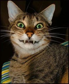 If Cats Were Emoticons - World's largest collection of cat memes and other animals Cute Cats And Kittens, I Love Cats, Crazy Cats, Funny Cat Faces, Funny Cats And Dogs, Animals And Pets, Funny Animals, Cute Animals, Funniest Animals