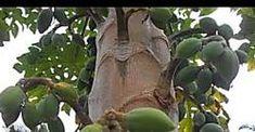 Papaya: Carica papaya (www.riomoros.com)