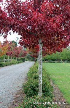 Scarlet Oaks Scarlet, Sidewalk, Garden, Garten, Side Walkway, Lawn And Garden, Walkway, Gardens, Scarlet Witch